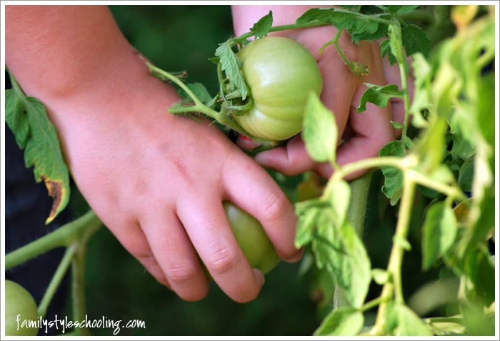 fried green tomatoes picking